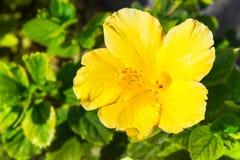 Fleur jaune de ketmie dans le jardin photos libres de droits