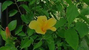 Fleur jaune de ketmie dans le vent banque de vidéos