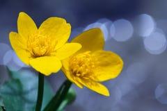 Fleur jaune de Kingcup Photos stock