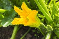 Fleur jaune de la courgette, courgette dans le jardin d'été, légume fleurissant Image libre de droits