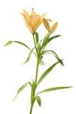 Fleur jaune de lilium de lis d'isolement Image libre de droits