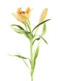 Fleur jaune de lilium de lis d'isolement Photographie stock libre de droits