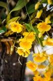 Fleur jaune de lindleyi de Dendrobium d'espèces d'orchidée Photo libre de droits