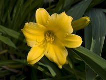Fleur jaune de lis Photo stock