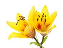 Fleur jaune de lis Images libres de droits