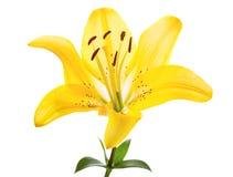 Fleur jaune de lis Image libre de droits