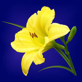 Fleur jaune de lis avec des bourgeons Photographie stock libre de droits
