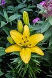 Fleur jaune de lis dans le jardin Image stock