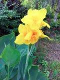 Fleur jaune de lis de Canna sur l'arbre Image libre de droits