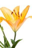Fleur jaune de lis sur le blanc Photographie stock