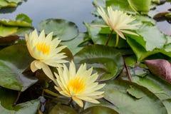 Fleur jaune de lotus dans l'eau Photos libres de droits