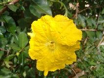 Fleur jaune de luffa Images libres de droits