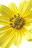 Fleur jaune de marguerite image stock