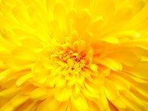 Fleur jaune de marguerite Photographie stock libre de droits