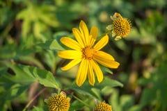 Fleur jaune de marguerite Photos libres de droits