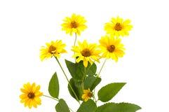 Fleur jaune de marguerite d'isolement Photos stock