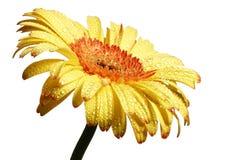 Fleur jaune de marguerite de gerbera Photo libre de droits