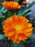 Fleur jaune de marguerite de gerbera images stock