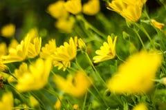 Fleur jaune de marguerites Photos stock