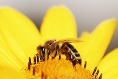 Fleur jaune de Maruertie Photos libres de droits