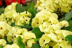 Fleur jaune de milli Desmoul d'euphorbe photos stock