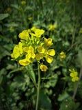 Fleur jaune de moutarde dans le domaine photos stock