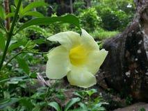 Fleur jaune de nature de village Photographie stock libre de droits