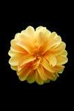 Fleur jaune de pétale Image libre de droits