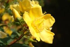 Fleur jaune de pétales Images libres de droits