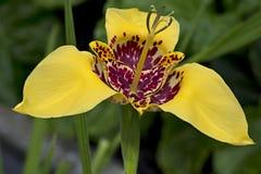 Fleur jaune de pavonia de tigridia dans le jardin, fin Photographie stock libre de droits