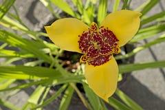 Fleur jaune de pavonia de tigridia dans le jardin, fin Photos libres de droits
