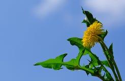 Fleur jaune de pissenlit Photographie stock