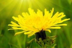 Fleur jaune de pissenlit photo libre de droits