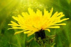 Fleur jaune de pissenlit photographie stock libre de droits