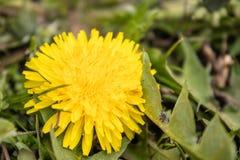 fleur jaune de pissenlit avec les feuilles vertes photo stock