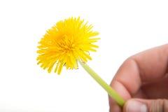 Fleur jaune de pissenlit sur le blanc Taraxacum Officinale Images stock