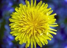 Fleur jaune de pissenlit sur un fond bleu contrastant Photographie stock