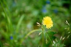 Fleur jaune de pissenlit sur un fond d'herbe verte Photos libres de droits