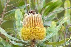 Fleur jaune de plan rapproché de Banksia de bois de chauffage s'élevant dans Aus occidental photos stock