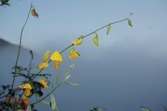 Fleur jaune de plan rapproché de crotalaire ou de juncea de Crotalaria dans le nom scientifique photographie stock libre de droits