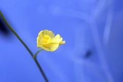 Fleur jaune de plante aquatique Photo stock