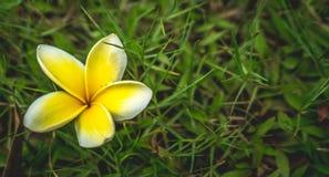 Fleur jaune de plumeria Photographie stock