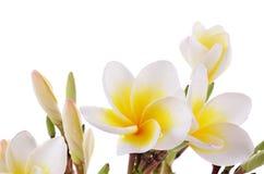 Fleur jaune de Plumeria d'isolement sur un fond blanc Image libre de droits