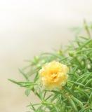 Fleur jaune de portulaca Image libre de droits