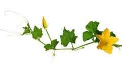 Fleur jaune de potiron Photos libres de droits