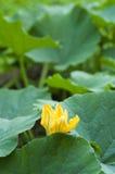Fleur jaune de potiron images stock