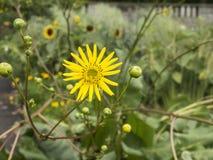 Fleur jaune de prairie-dock en fleur Photo stock