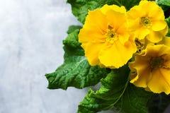 Fleur jaune de primevère de primevère de primevère de ressort de jardin Image stock