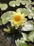 Fleur jaune de protection de lis images libres de droits