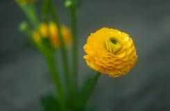 Fleur jaune de renoncule Photo stock
